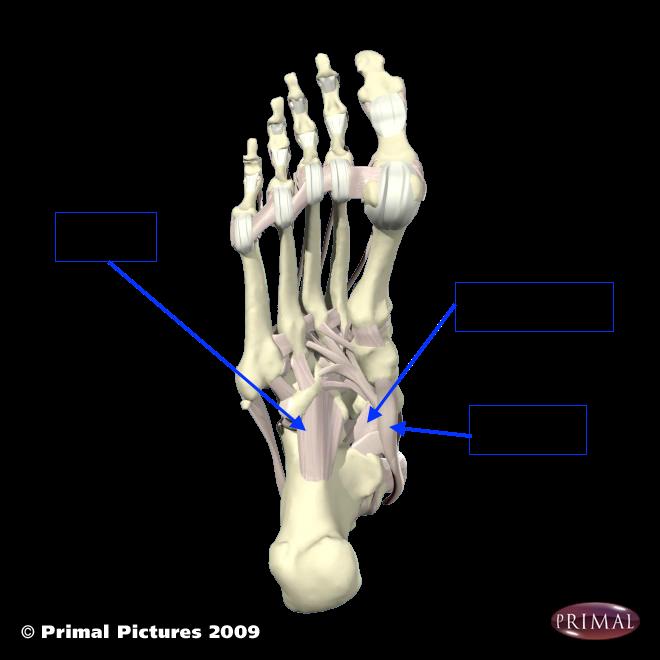 post tibialis tendonのコピー