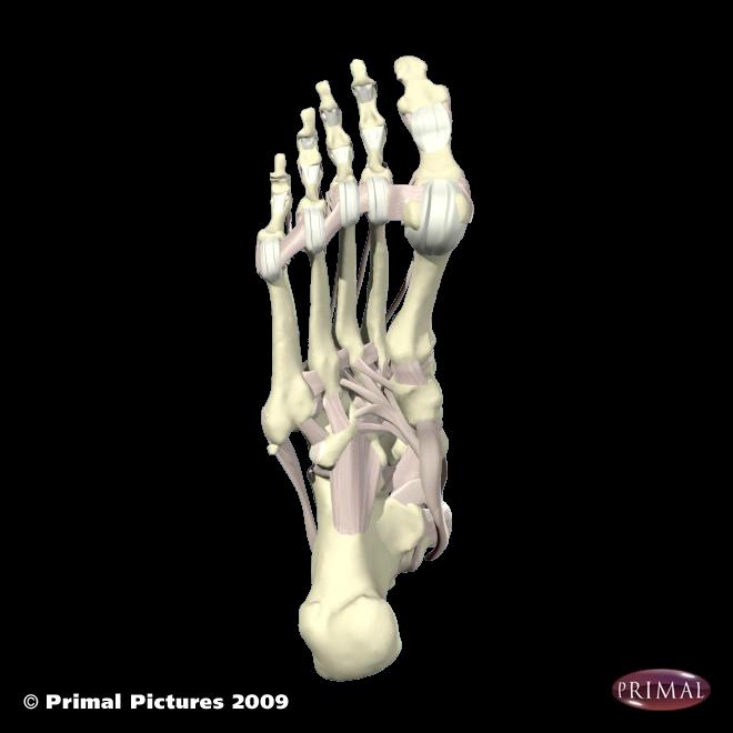 post tibialis tendon